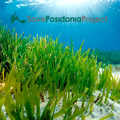 To protect the posidona meadows, sponsors square meters of posidonia